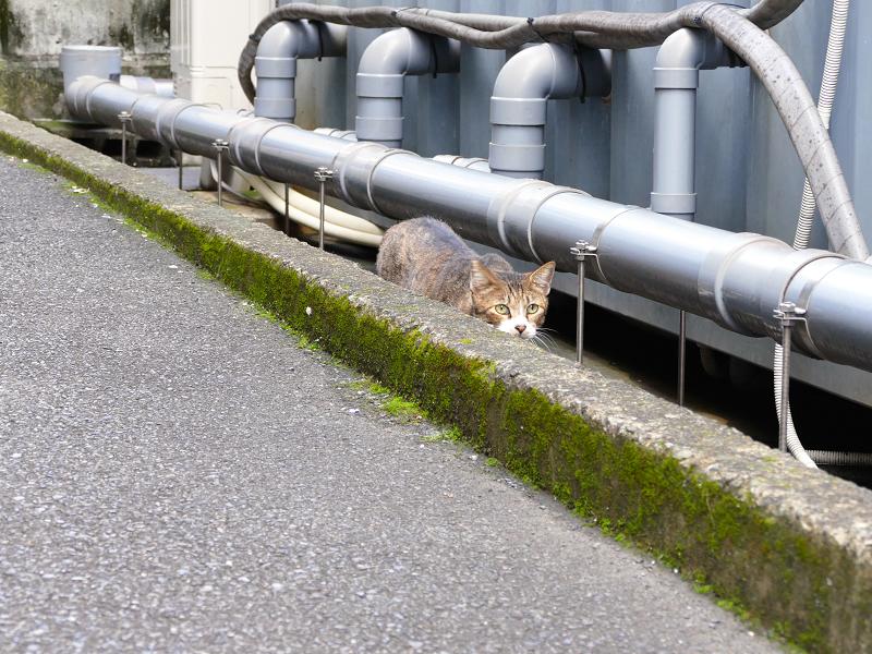 隙間を歩いてるキジ白猫1