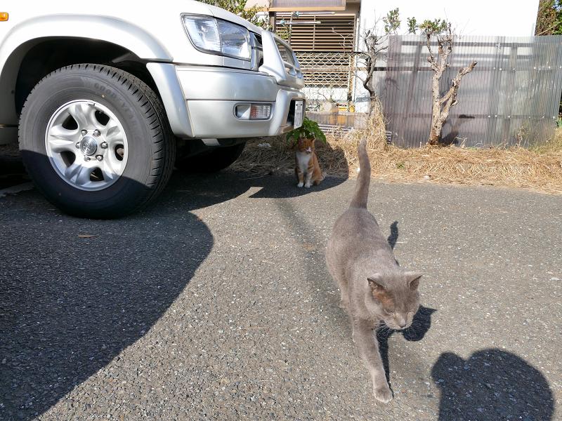 歩み寄って来たグレー猫