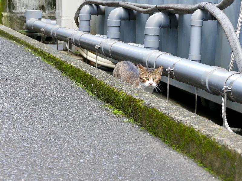 隙間を歩いてるキジ白猫2