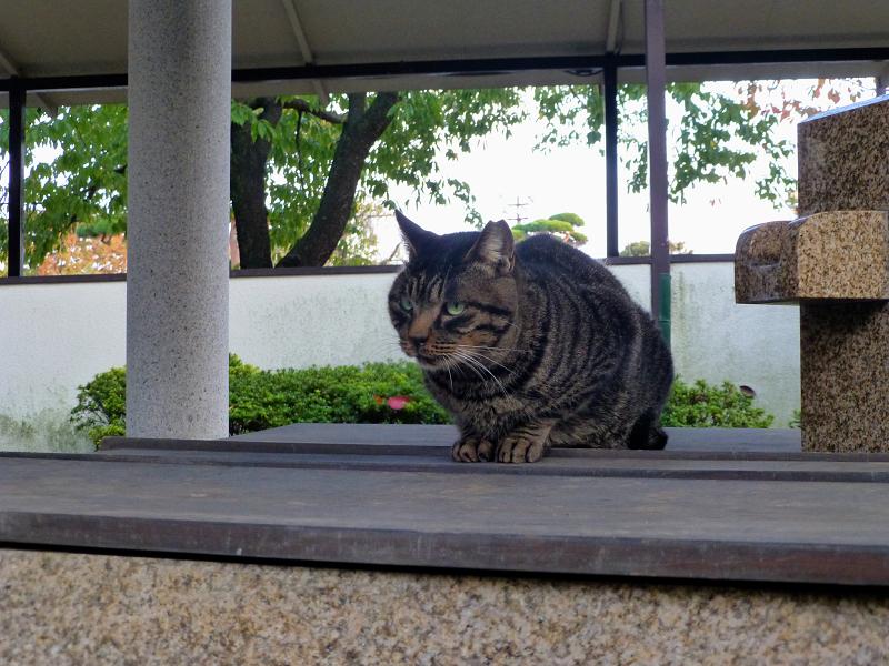 井戸の蓋に乗ってるキジトラ猫1