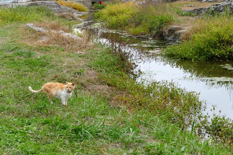 河原草むらを歩く茶トラ猫1