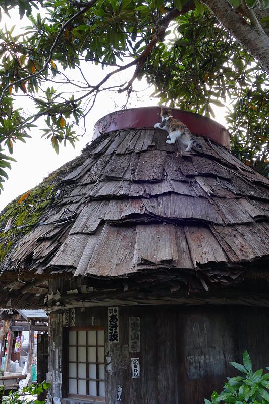 檜皮の屋根の乗ってる三毛猫2