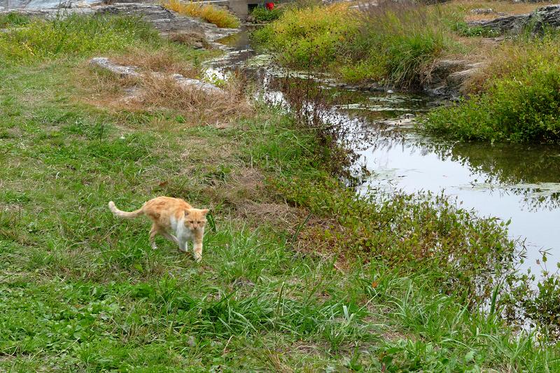 河原草むらを歩く茶トラ猫2