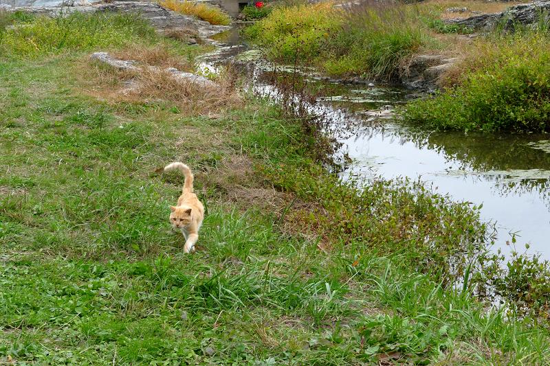 河原草むらを歩く茶トラ猫3