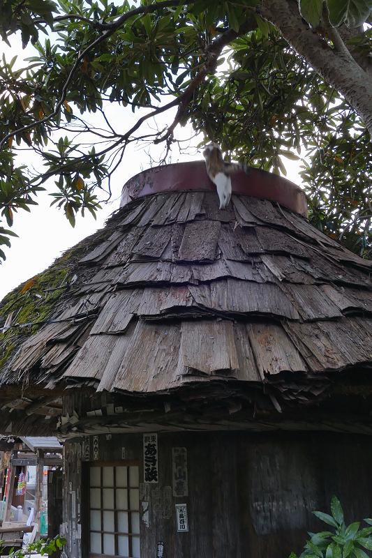 檜皮の屋根の乗ってる三毛猫4