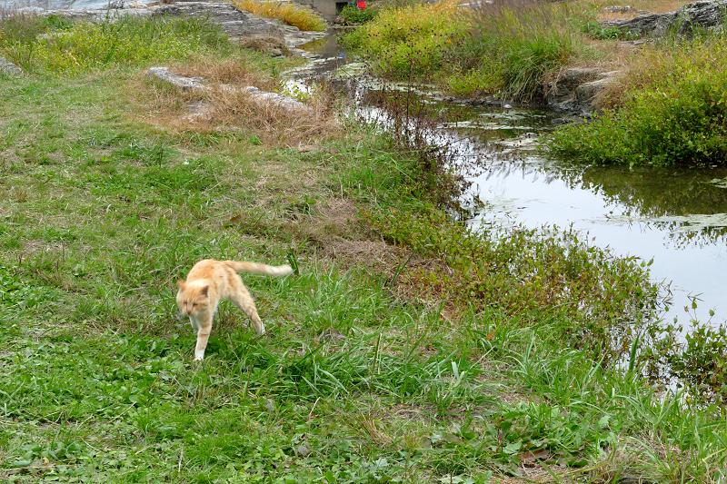 河原草むらを歩く茶トラ猫4