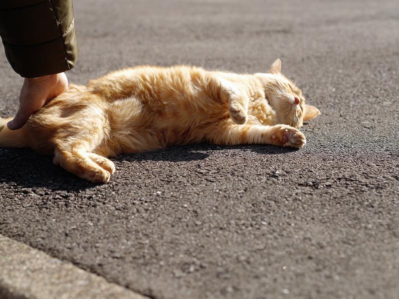 触られて横になってる茶トラ猫1