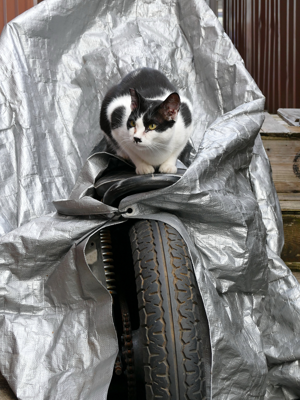バイクのシートに座ってる黒白猫2