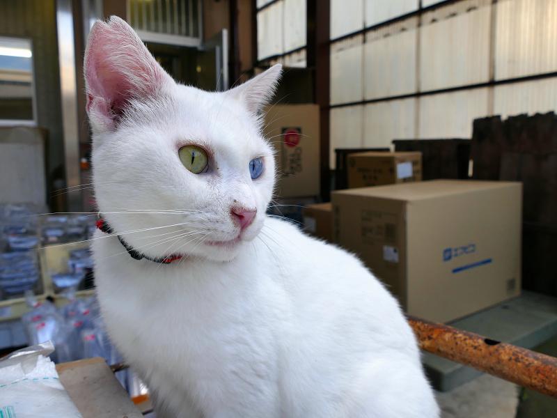 商品棚の白猫3