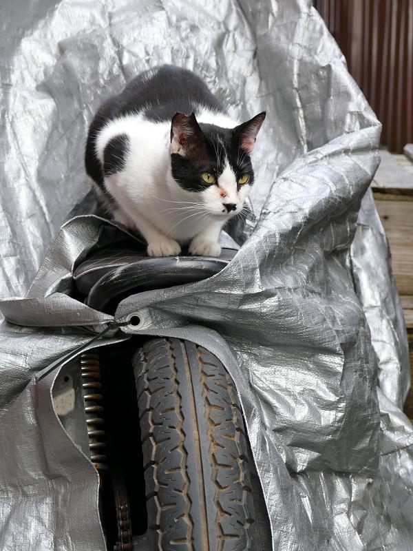 バイクのシートに座ってる黒白猫3