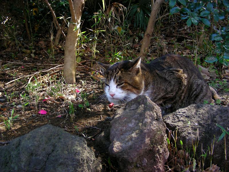 釜飯の器からご飯を食べてたキジ白猫1