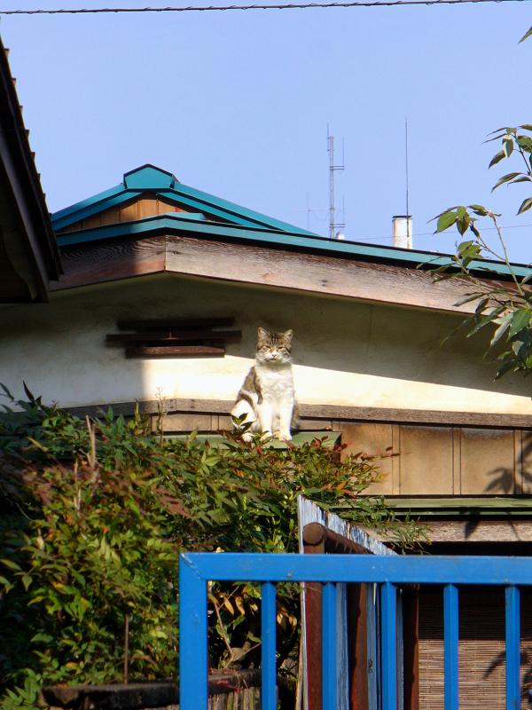 玄関屋根の猫1