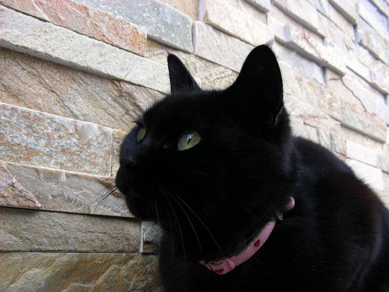 上を見上げる黒猫2