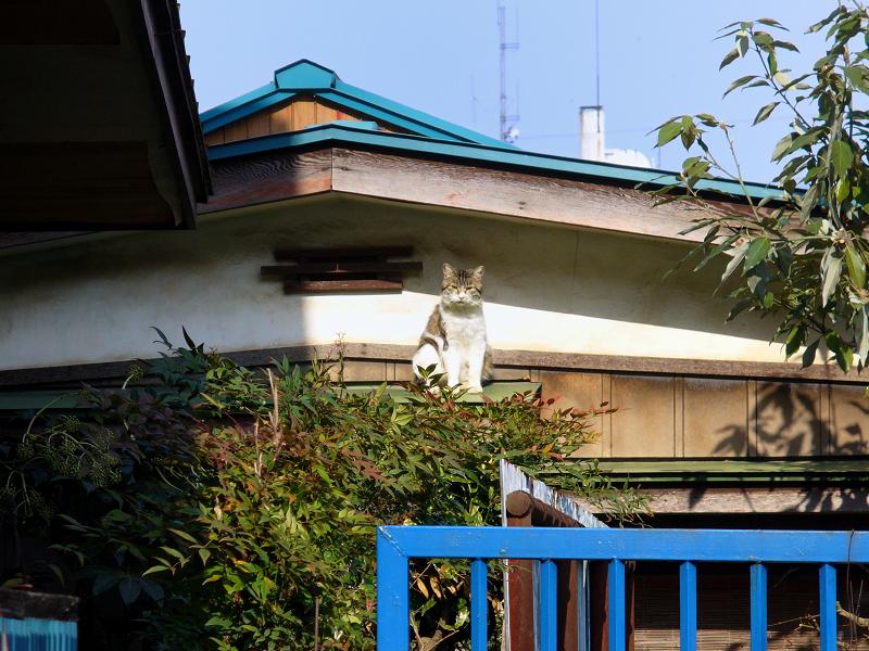 玄関屋根の猫2