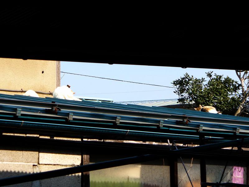 玄関屋根の猫3