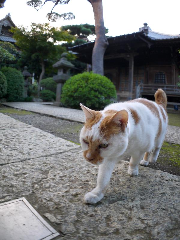 近くに寄って来た白茶猫1