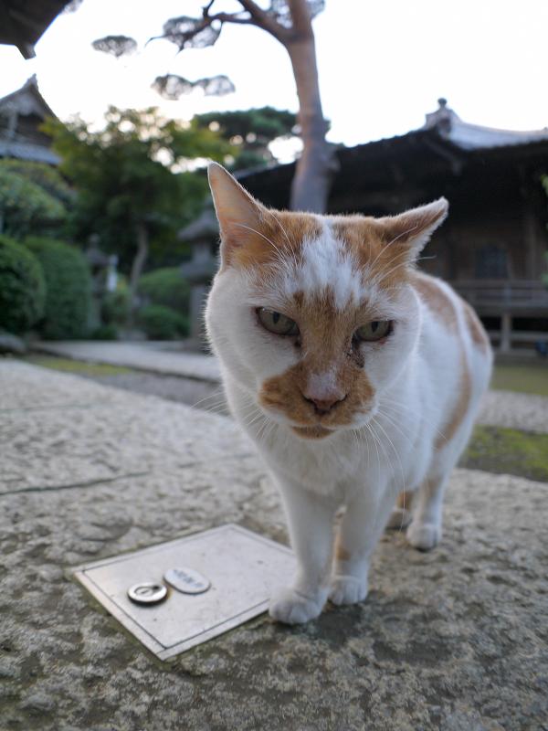 近くに寄って来た白茶猫2