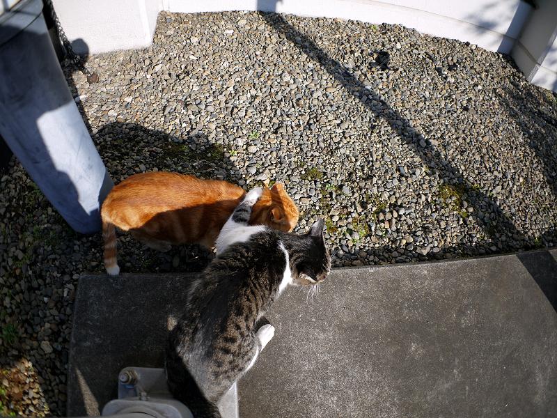 キジ白猫からアメショー風猫へのヘッドロック3