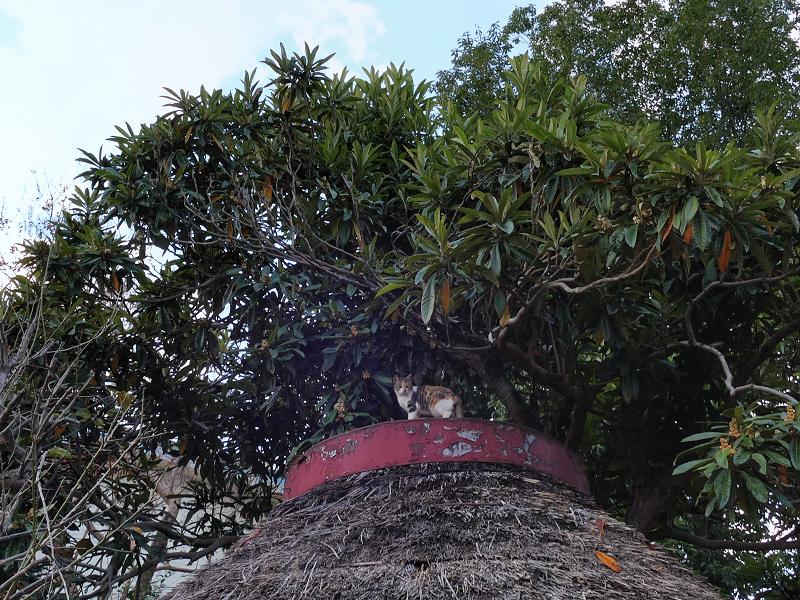 天辺までの登った三毛猫1