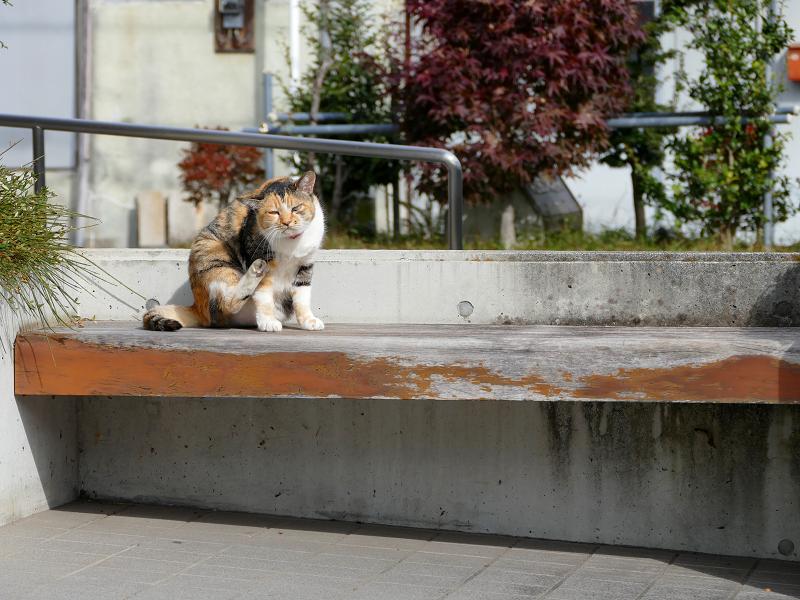 ベンチの上で後ろ足カキカキする三毛猫1
