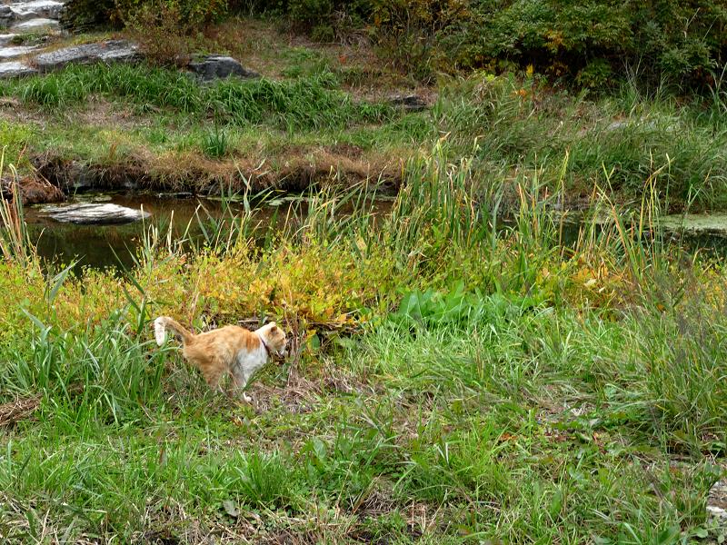 草むら河原を歩いてる茶トラ猫1