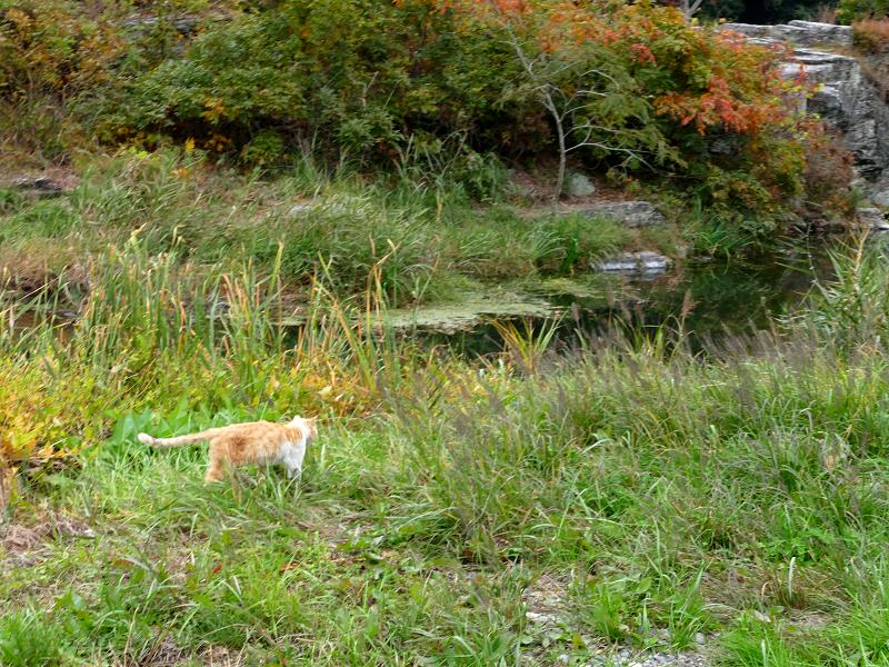 草むら河原を歩いてる茶トラ猫2