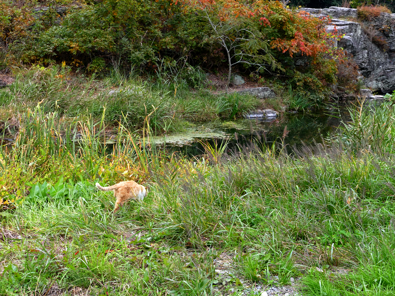 草むら河原を歩いてる茶トラ猫3
