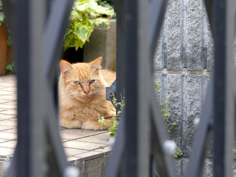 門扉の中の茶トラ猫1