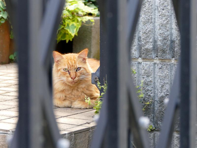 門扉の中の茶トラ猫2