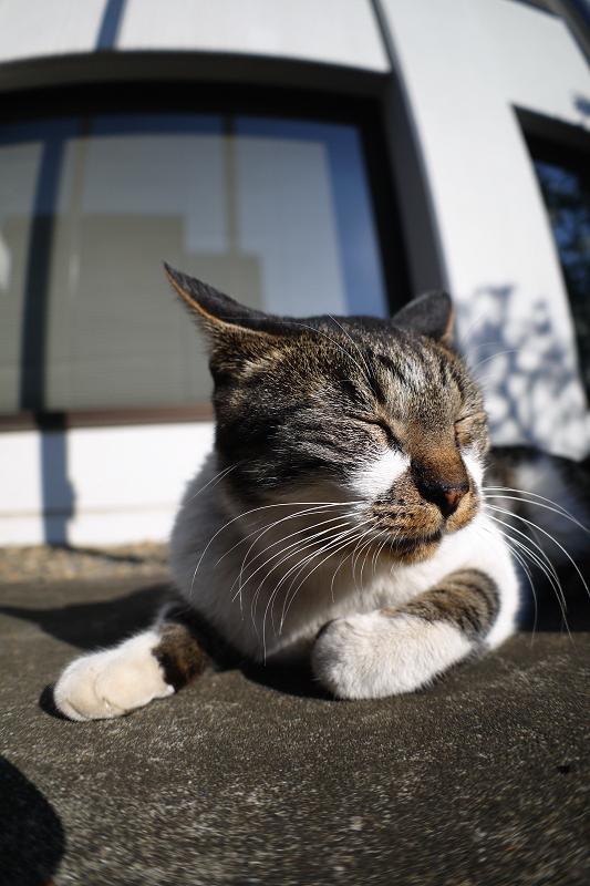 温温日差しとキジ白猫2