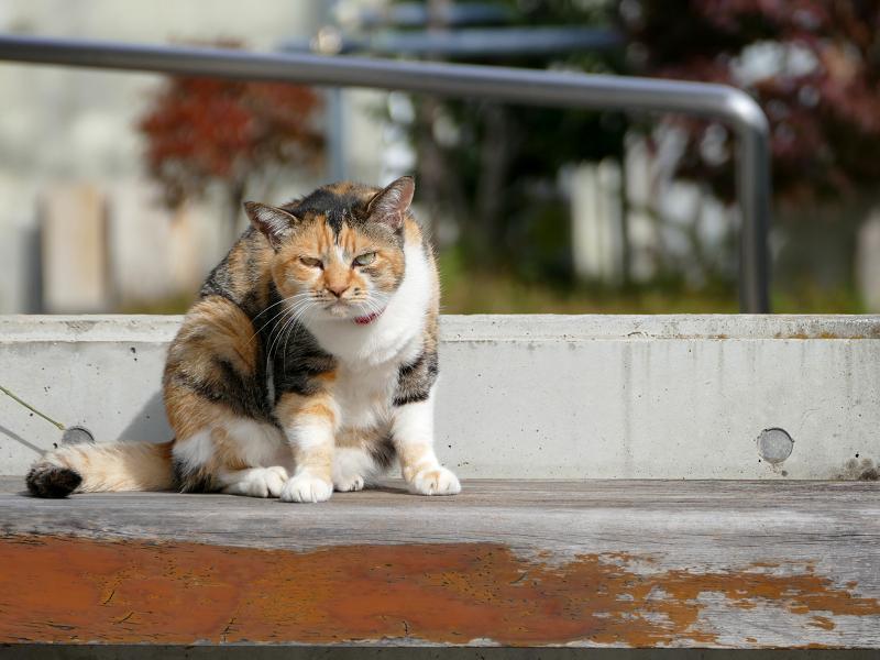 ベンチ上で考える三毛猫1