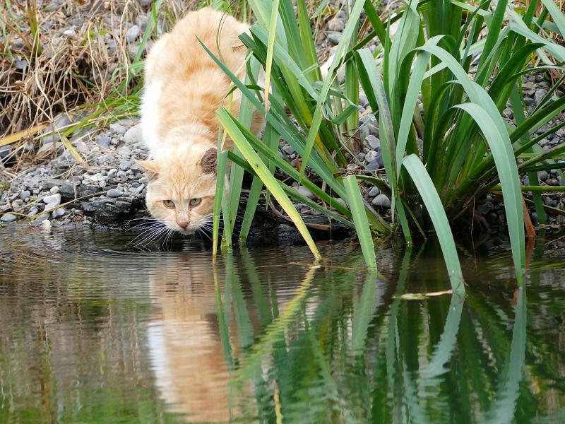 河原で水を飲んでる茶トラ猫1