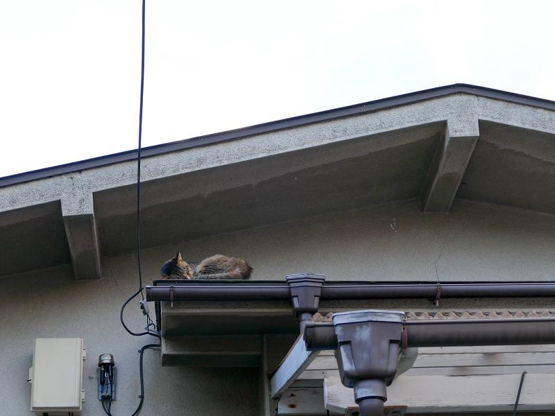 上で寝てる猫