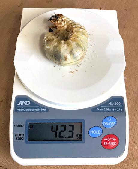 2018_423幼虫