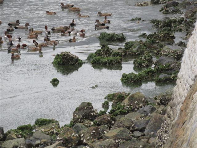 1 奈多海岸のアオサ_R
