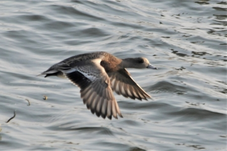 amwigeon-f-upperwing