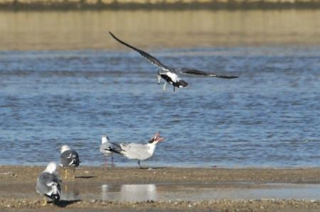 caspian-bartailedgull