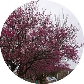 4 梅林の梅開花