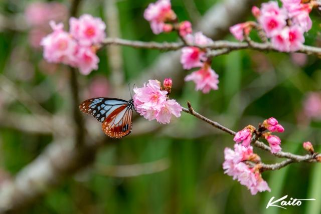 寒緋桜と蝶