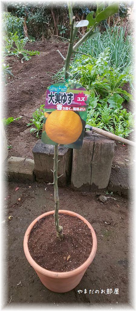 柚子の木植えました!①