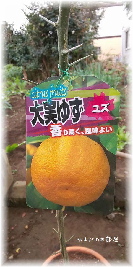 柚子の木植えました!②