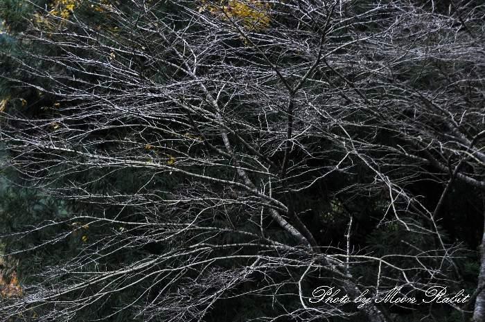 初冬の木枝 愛媛県西条市丹原町鞍瀬
