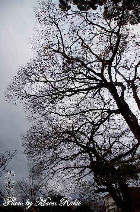 西条藩大手門土塁の冬の樹木