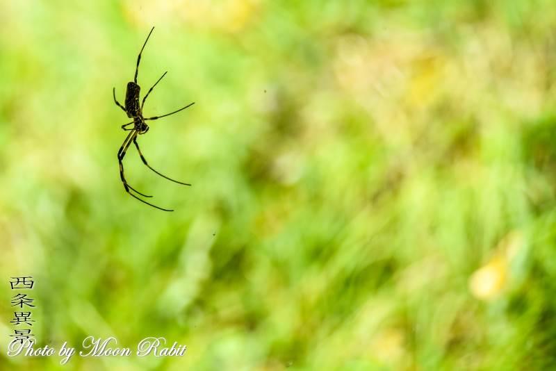 武丈公園の蜘蛛 愛媛県西条市