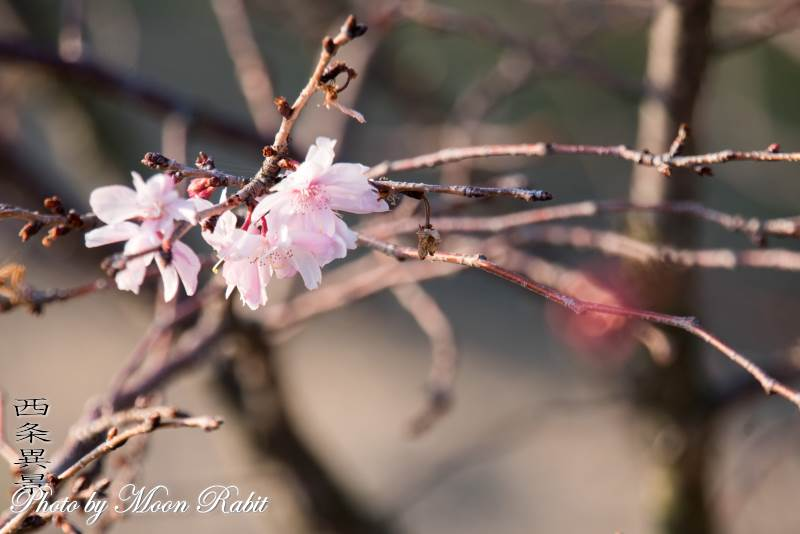 冬桜 西条図書館 中央緑地 愛媛県西条市上神拝