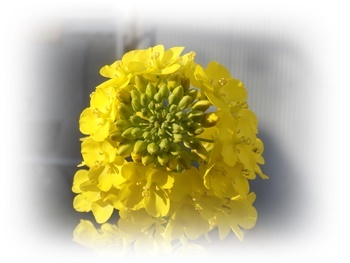レタサイの花