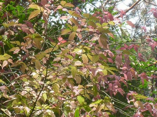 11月20日 アオツリバナの紅葉