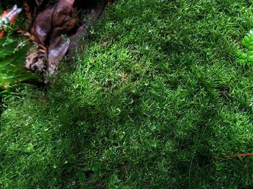12月26日 潤った苔