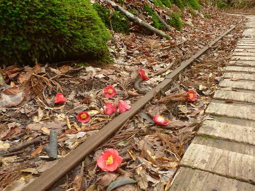 トロッコ軌道のヤクシマツバキの花