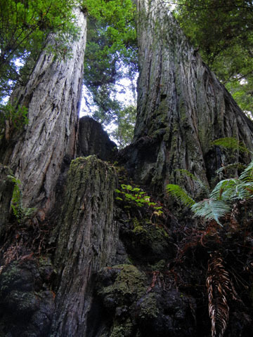 blog CP22 Russian Gulch, East Trail, Redwood Stamp_DSCN1433-12.7.18.jpg
